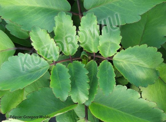Kalanchoe Pinnata, liście