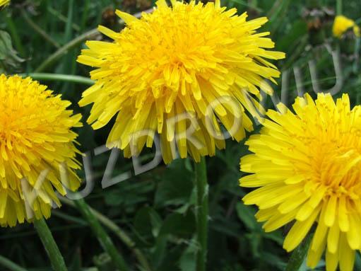 Mniszek Lekarski, zdjęcie kwiatów