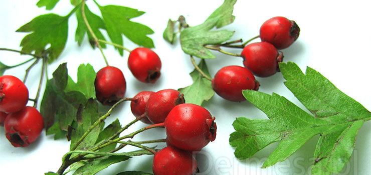 owoc głogu