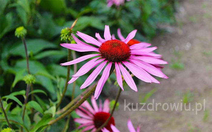 Jeżówka kwiaty echinacea purpurea