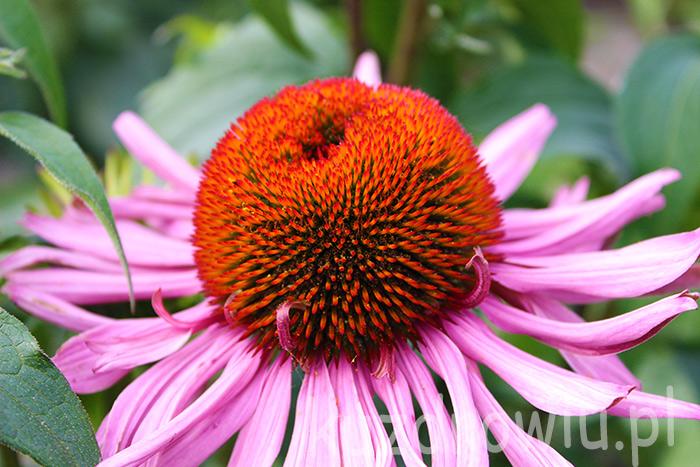 Jeżówka kwiat dermesa