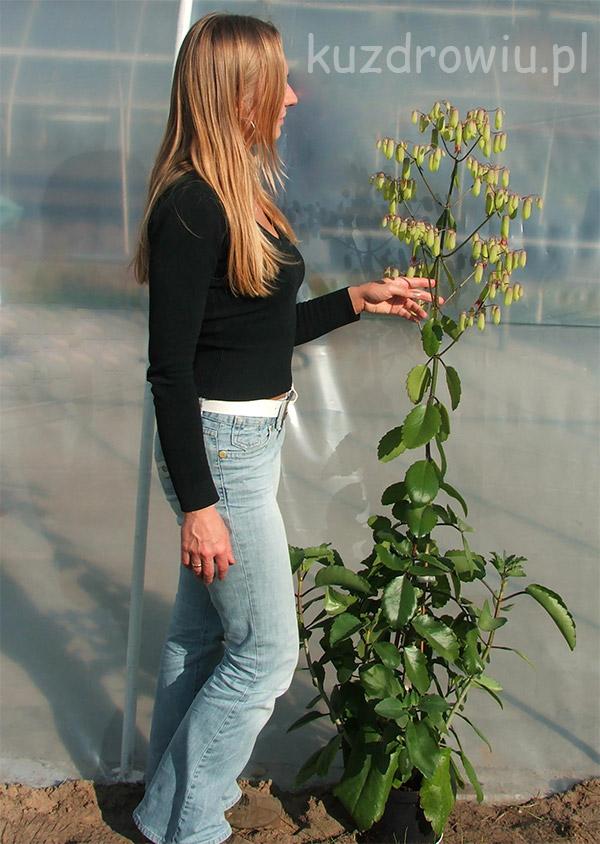 Pinnata kwitnąca Dermesa