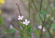 Wierzbownica drobnokwiatowa